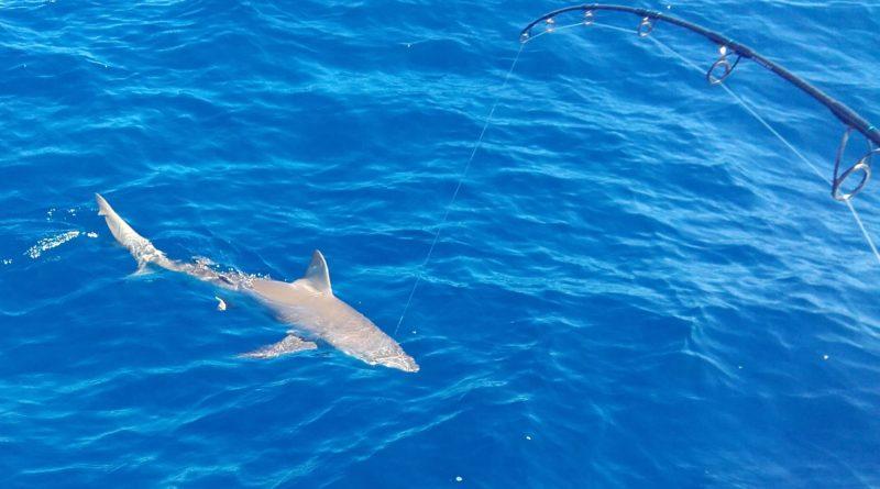 Requin soyeux Pêche en Guadeloupe