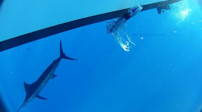 Marlin bleu Guadeloupe