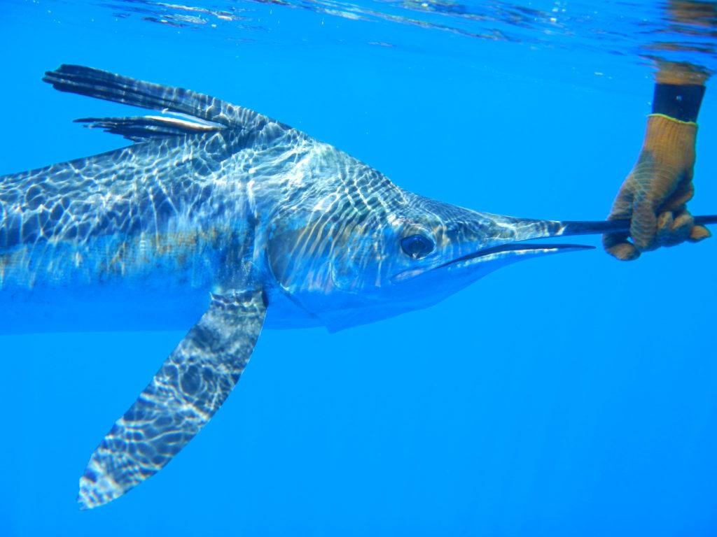 Pêche du Marlin blanc en Guadeloupe