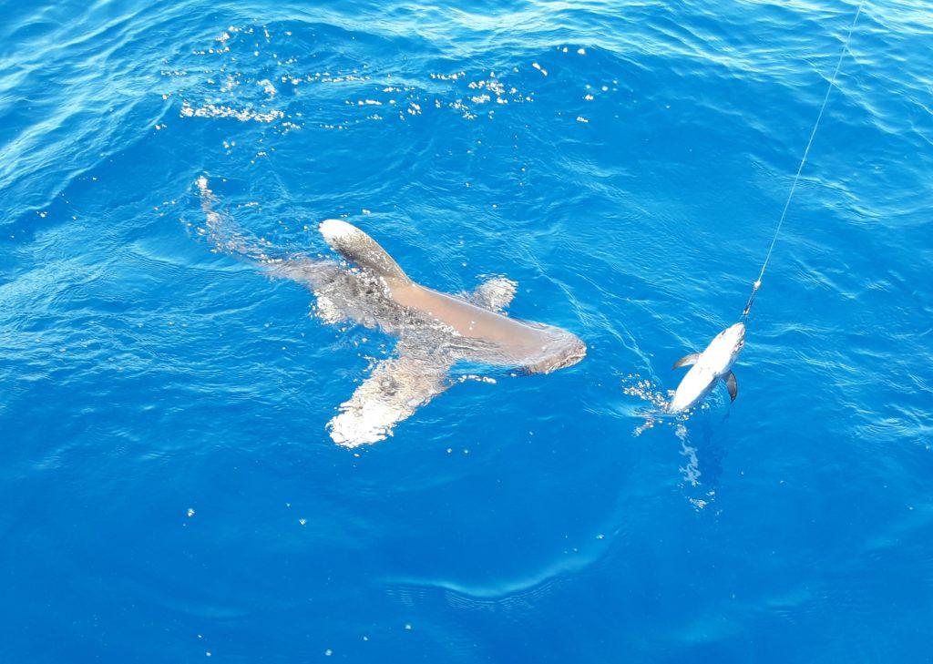 Pêche du Requin en Guadeloupe